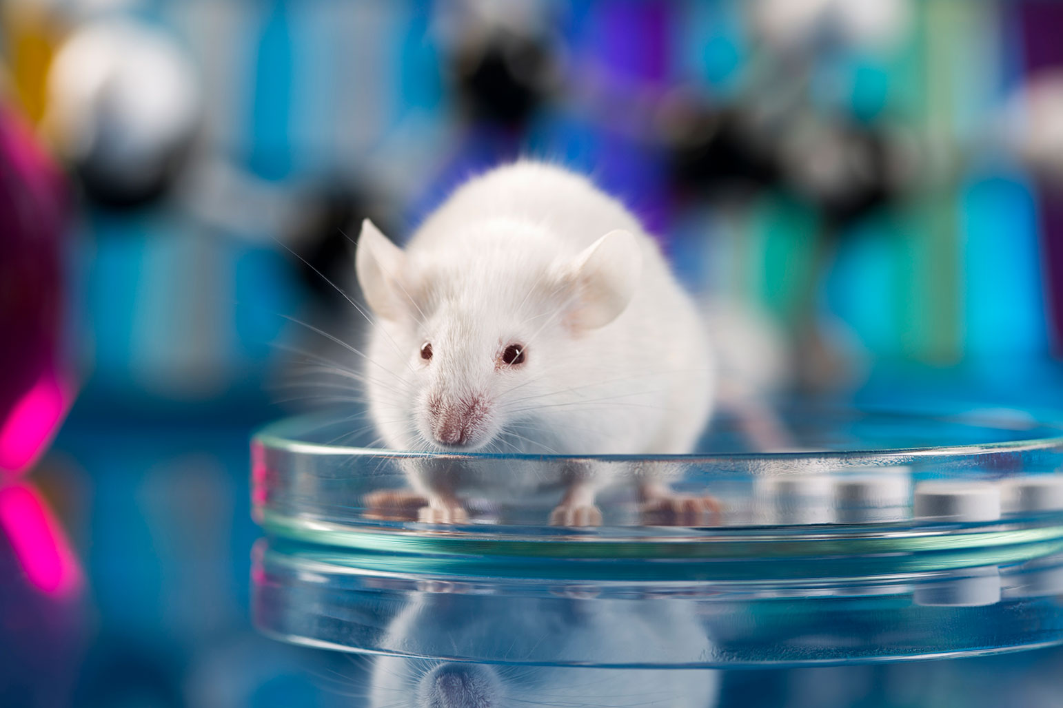 A white mouse sits in a glass Petri dish.
