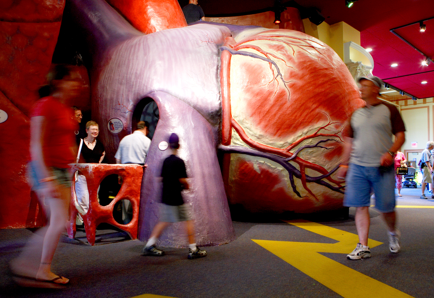 the heart: the engine of life | the franklin institute science museum, Muscles