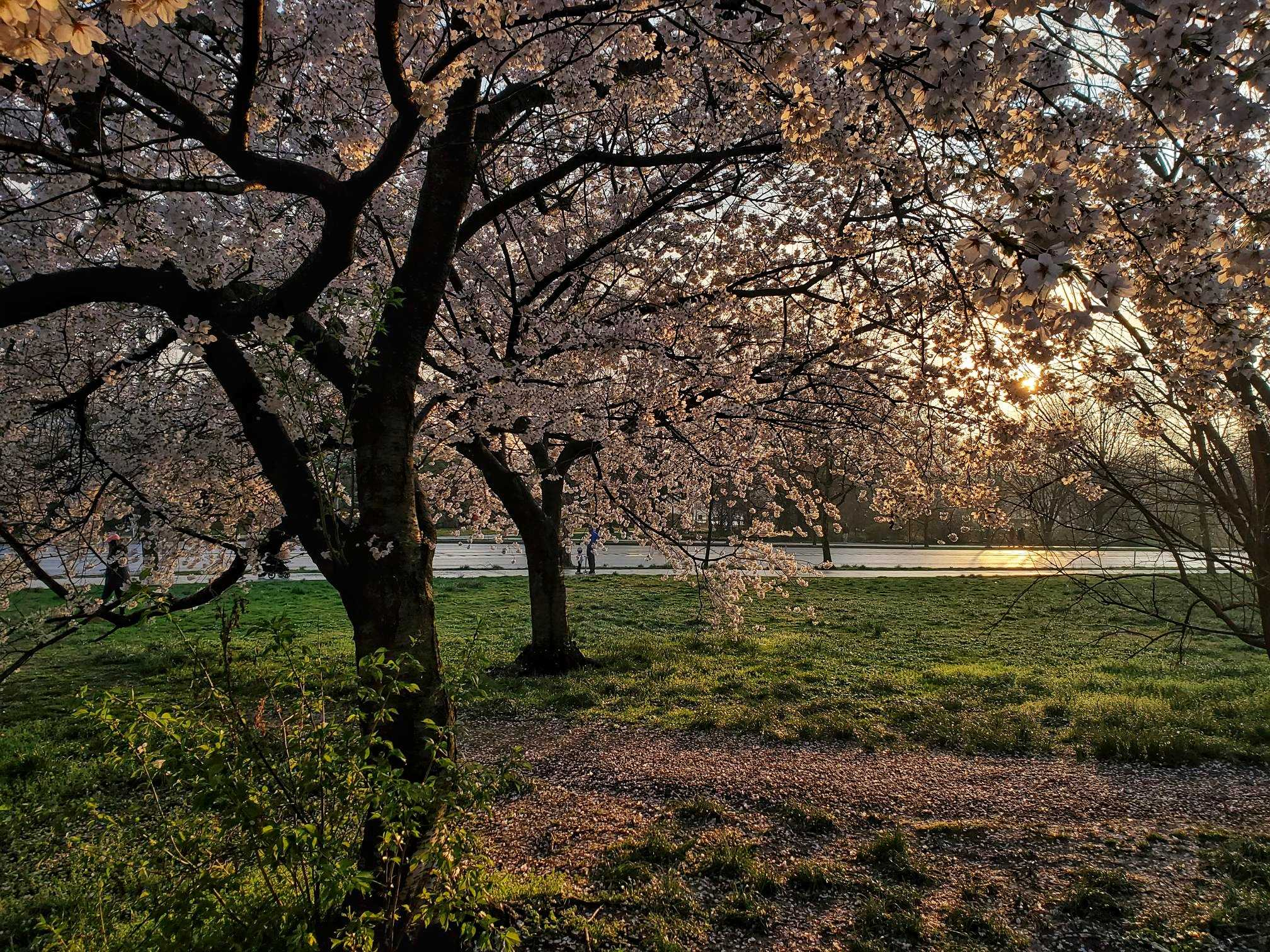 Flowering Trees at Sunset