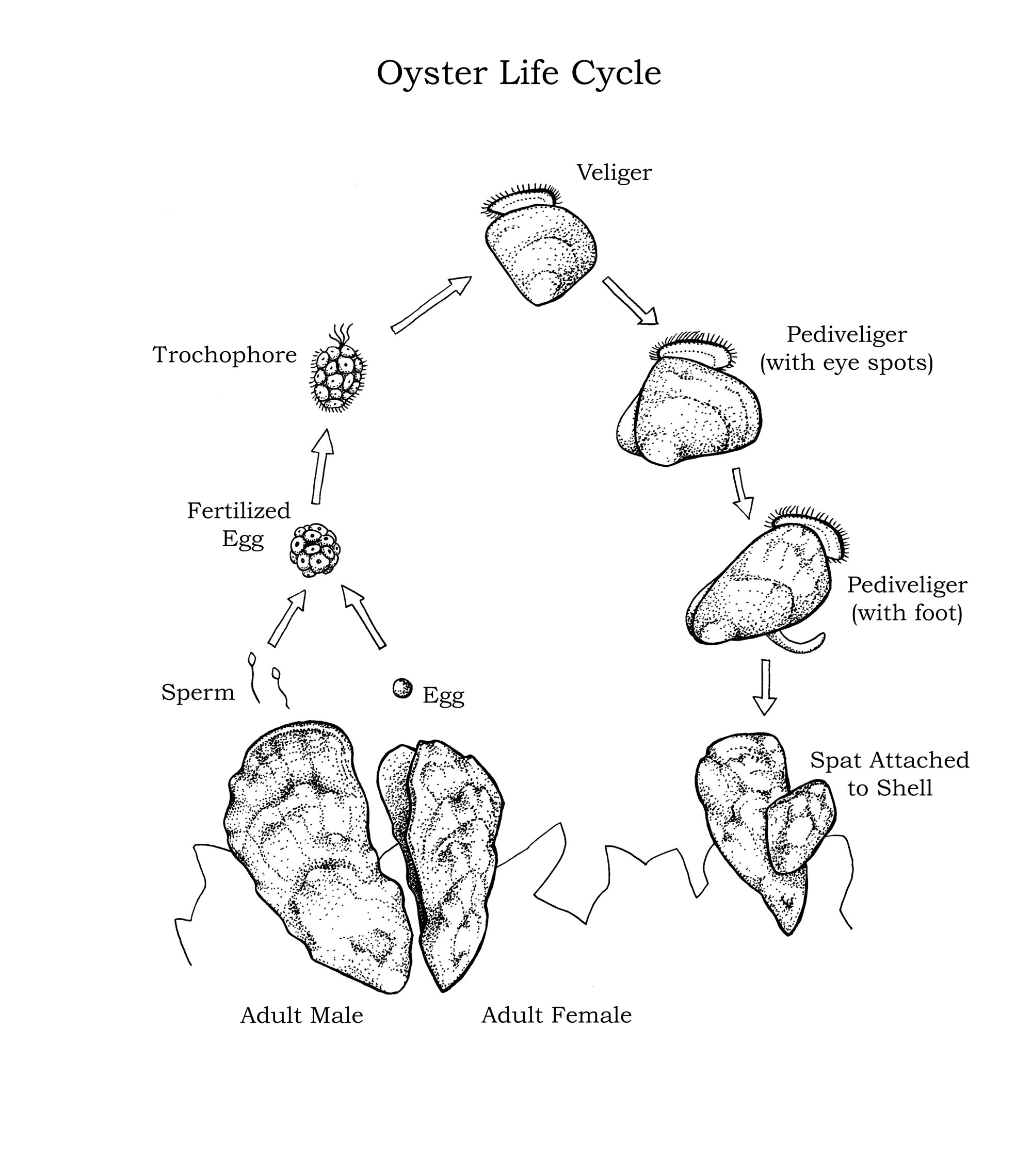 Illustration of oyster life cycle by Mary Koger