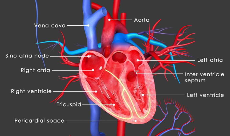 explain what you learned from the online human heart dissection Describe and explain the function of the learn the anatomy of a typical human name the parts of the human heart 7 - the muscles: can you identify.
