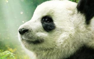 Photograph of a young panda