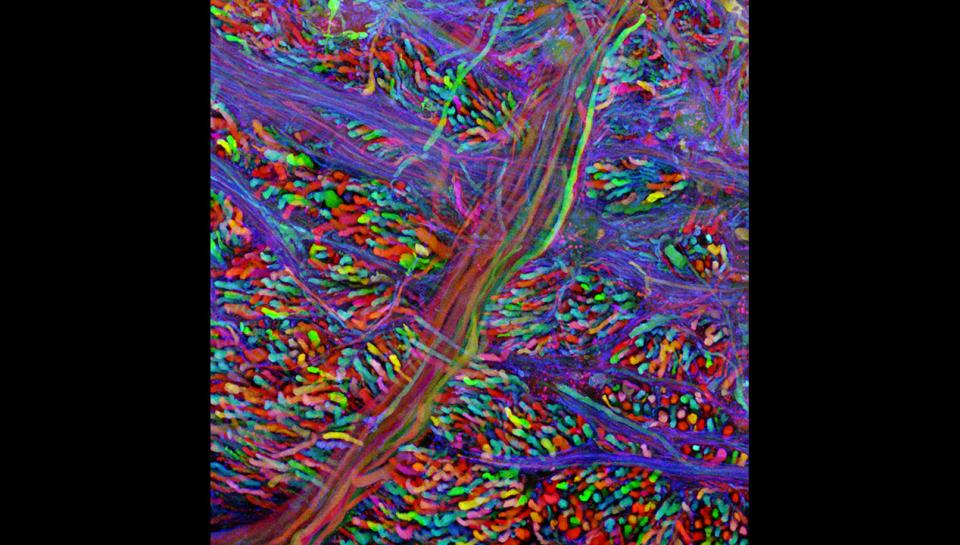 Brainbow Mouse Neurons