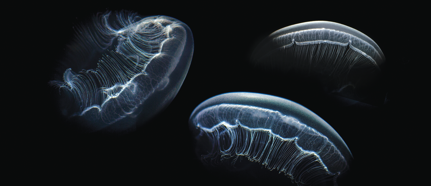 Photo of moon jellyfish by Anand Varma